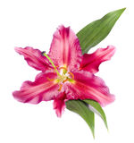 Lirio de Rose Foto de archivo libre de regalías