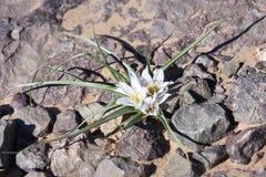Lirio de Sáhara, amaena del battandiera - abandone la flor con el pétalo blanco Foto de archivo