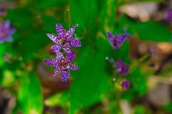 Lirio de sapo - flor de Tricyrtis imágenes de archivo libres de regalías