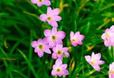 Lirio de Zephyranthes, lirio de la lluvia, lirio de hadas Foto de archivo libre de regalías
