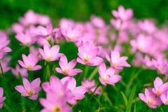 Lirio de Zephyranthes, lirio de la lluvia, lirio de hadas Fotos de archivo