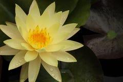 Lirio del amarillo de la lluvia del verano fotos de archivo