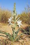 Lirio del desierto Foto de archivo