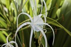 Lirio del jengibre de la mariposa en los arbustos Fotos de archivo