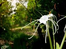 Lirio delicado blanco hermoso de la araña, littoralis de Hymenocallis, con los pétalos larguiruchos largos creciendo en una estac fotografía de archivo libre de regalías