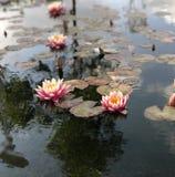 Lirio en el lago imagen de archivo