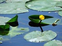 Lirio en el río Fotos de archivo libres de regalías