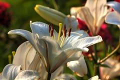 Lirio Flor del jardín Foto de archivo