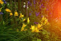 Lirio floreciente anaranjado brillante y luz del sol Foto de archivo