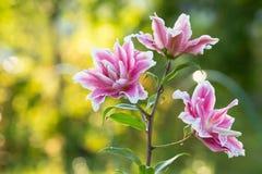 Lirio Flores brillantes del verano en el jardín enorme Tarjeta de la primavera para Foto de archivo libre de regalías