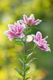 Lirio Flores brillantes del verano en el jardín enorme Tarjeta de la primavera para Imagenes de archivo