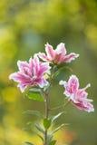 Lirio Flores brillantes del verano en el jardín enorme Tarjeta de la primavera para Foto de archivo