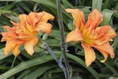 Lirio, flores hermosas del albaricoque, formadas como el lirio flor-embudo-formado, con un pequeño tubo, recogido en una inflores foto de archivo