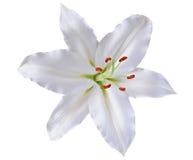Lirio hermoso aislado en el fondo blanco imagen de archivo libre de regalías
