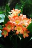 Lirio hermoso de la naranja de la flora de las flores Foto de archivo