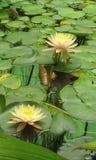 Lirio. Lily, in bogota, in the botanical garden Stock Image