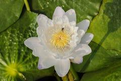Lirio, Lotus y abeja de agua Foto de archivo libre de regalías