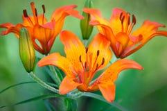 Lirio muy hermoso de la flor Foto de archivo
