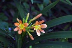 Lirio natal o Clivia en fondo oscuro del jardín imagen de archivo libre de regalías