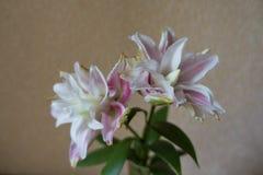 Lirio oriental doble con 2 flores blancas rosáceas fotografía de archivo