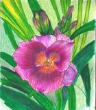 Lirio púrpura brillante libre illustration