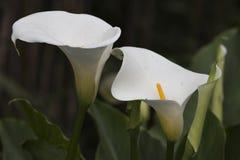Lirio que florece en el jardín Foto de archivo