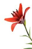 Lirio rojo Imagen de archivo libre de regalías