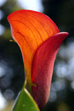 Lirio rojo Imagen de archivo