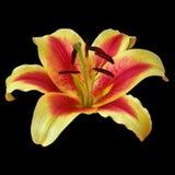 Lirio rojo amarillo de la flor aislado en fondo negro Primer imagen de archivo libre de regalías
