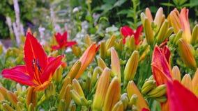 Lirio rojo en el jardín Imágenes de archivo libres de regalías