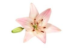 Lirio rosado Foto de archivo