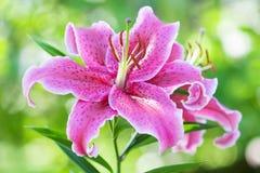 Lirio rosado Imagen de archivo libre de regalías