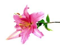 Lirio rosado imágenes de archivo libres de regalías