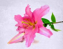 Lirio rosado imagenes de archivo