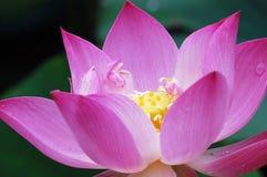 Lirio rosado Foto de archivo libre de regalías