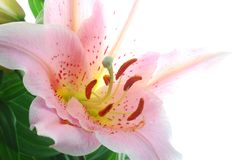 Lirio rosado fotos de archivo libres de regalías