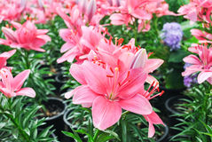 Lirio rosado Imagen de archivo