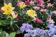 lirio rosado amarillo y flor púrpura de la hortensia en jardín F floreciente fotografía de archivo