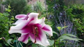 Lirio rosado blanco metrajes