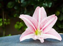 Lirio rosado brillante Imágenes de archivo libres de regalías