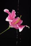 Lirio rosado con agua Foto de archivo libre de regalías