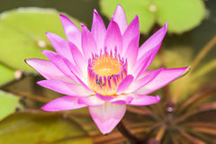Lirio rosado del loto o de agua con la abeja Imagen de archivo