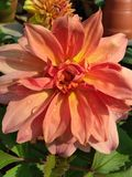 Lirio rosado en jardín fotos de archivo