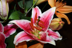 Lirio rosado en la plena floración Foto de archivo