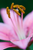 Lirio rosado en naturaleza Fotos de archivo