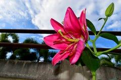 Lirio rosado maravilloso y el polen con el fondo del cielo azul imagenes de archivo