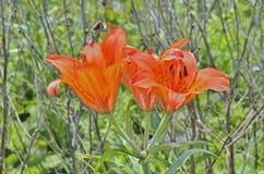 Lirio salvaje (pensylvanicum del Lilium) 5 Imagen de archivo libre de regalías