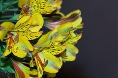 Lirio tigrado amarillo Fotografía de archivo libre de regalías