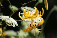 Lirio tigrado amarillo hermoso Foto de archivo libre de regalías