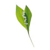 Lirio uno, aislado en el blanco, el viaje, las hojas y las flores, contraluz Imágenes de archivo libres de regalías